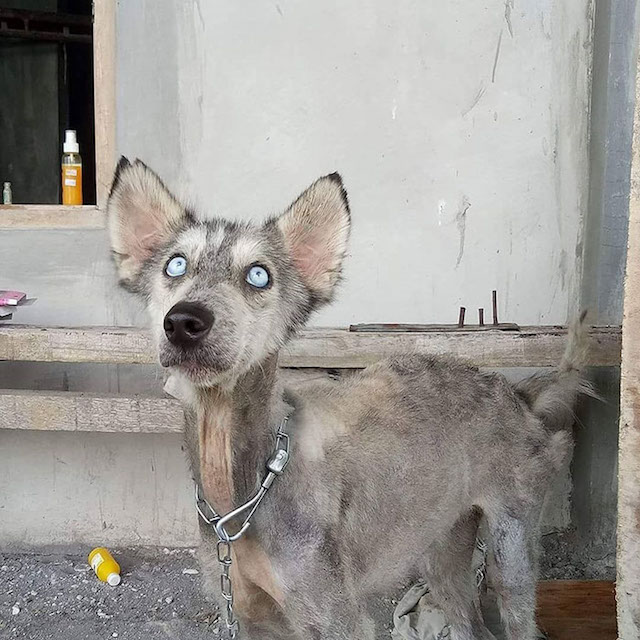 starving husky makes incredible transformation