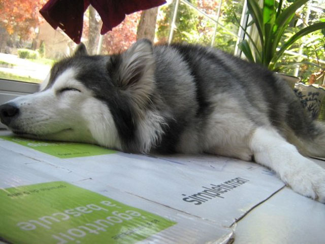 husky raised by cats, acts like a cat
