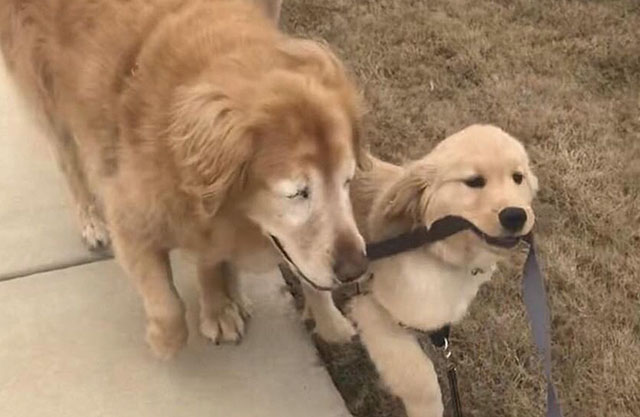 puppy is a seeing eye dog
